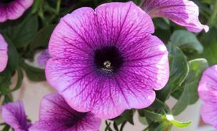 Неприхотливая петуния: как ухаживать и защищать от вредителей