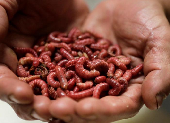 Блюда из насекомых официально разрешено есть в Европе