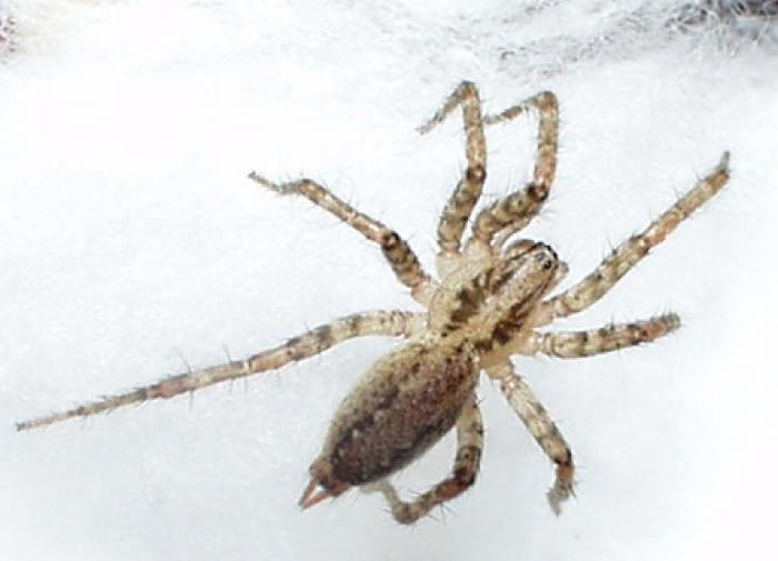 Самцы сиднейских пауков более ядовиты, чем самки