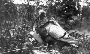 ЦРУ рассекретило документы о подготовке голубей-разведчиков
