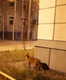 Дикий хищник бегает по улицам Нижневартовска