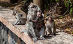 У зараженных COVID-19 обезьян выработался кратковременный иммунитет