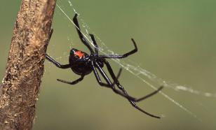 Урок на всю жизнь: укус Черной вдовы не делает человека пауком