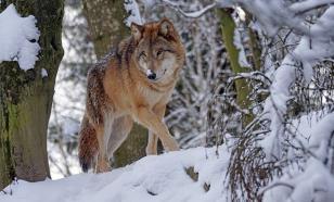 Домашняя собака спасла десятилетнего мальчика от волка