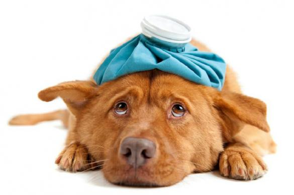 Отравление в жару – как помочь животному