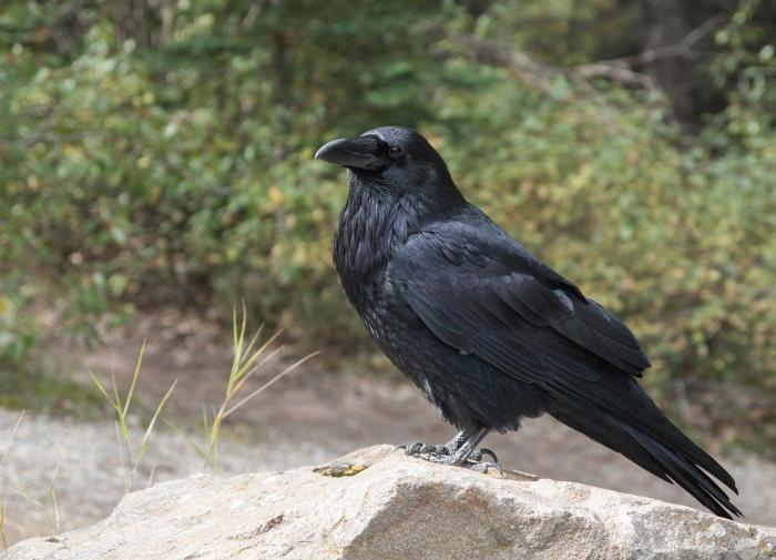 Орнитологи доказали, что вороны способны к сознательному мышлению