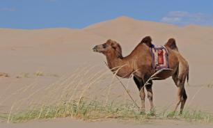 Открытие: верблюжье молоко обладает противовоспалительными свойствами