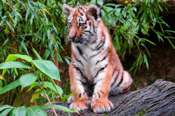 """В приморском нацпарке """"Земля леопарда"""" родились десять амурских тигрят"""