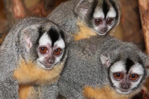 Впервые в  Московском зоопарке родился детеныш боливийской мирикини