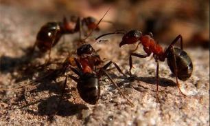 Ученые: муравьи вовсе не трудяги. У них можно поучиться лени
