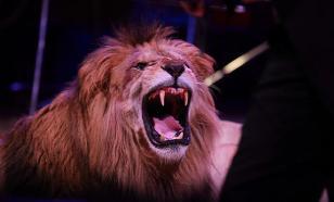 Разъяренный лев бросился на дрессировщика на арене цирка