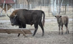 В Брянском заповеднике началась зимняя подкормка зубров