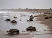 Пляжи Бенгальского залива заполонили черепахи