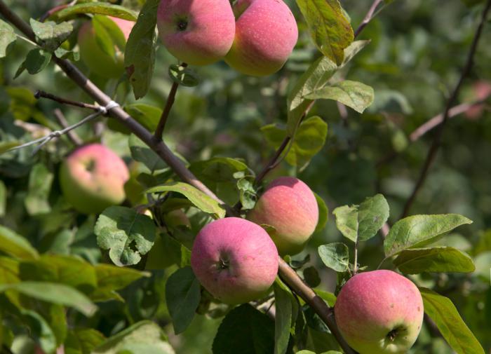 Яблоки положительно влияют на память