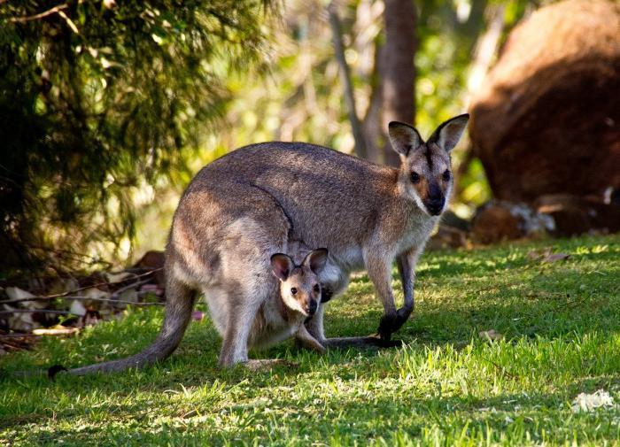 В Австралии нашли наскальное изображение кенгуру возрастом 17 тыс. лет