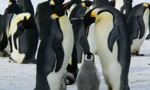 В Антарктике нашли новые колонии императорских пингвинов