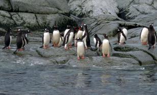 Субантарктические пингвины оказались четырьмя разными видами