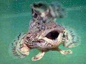 Раскрыта тайна поющей рыбы