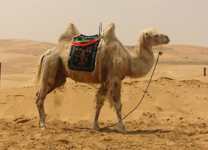 Шерсть верблюдов вдохновила изобретателей на создание нового охладителя