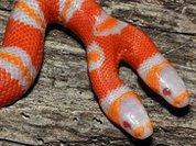 Чудо-змея с двумя головами родилась в США