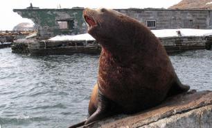 Новозеландец напал на морского льва с копьём, защищая партнёршу