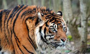В Приморье отловят тигра-хулигана и попытаются его перевоспитать