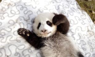 В нидерландском зоопарке родился детеныш большой панды