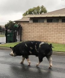 Американским полицейским удалось приручить огромную свинью