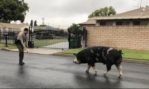 Американским полицейским приручили огромную свинью