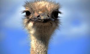 В Подмосковье привили страусов