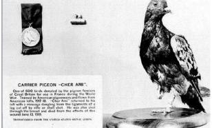 Голубка Шер Ами спасла 200 мужчин во время Первой мировой войны
