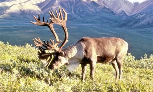 На Ямале изучают генетику оленей для повышения объёмов заготовки мяса