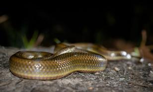 В Мьянме обнаружили новый тип змей