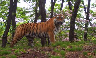 Суд ужесточил приговор одному из убийц краснокнижного тигра Павлика