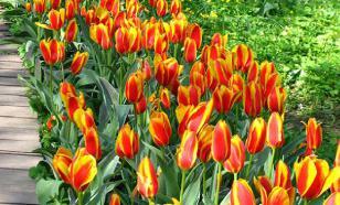 "COVID-19 ""уничтожил"" 140 миллионов тюльпанов в Нидерландах"