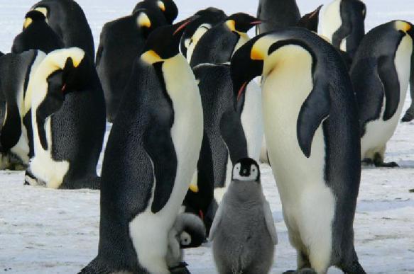 Открытие: предки пингвинов заняли место динозавров