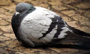 Шер Ами: подвиг голубя во время Первой мировой