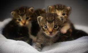 Три котенка заперлись в машине и путешествовали против воли