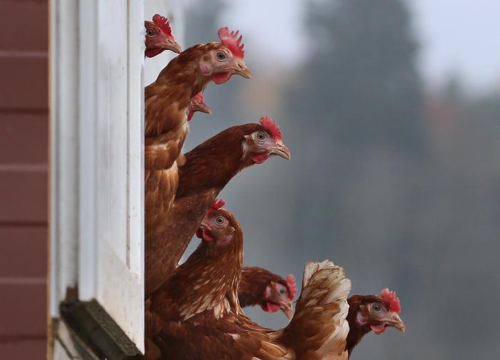 Счёт на миллионы: Южная Корея борется с птичьим гриппом