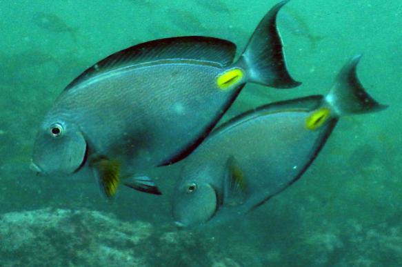 Крымские рыбаки выловили рифовую рыбу