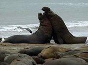 Морские слоны помогут разгадать загадку изменения климата