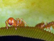 Ученые обнаружили муравьев-полицейских