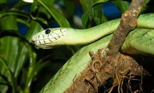 Учёные раскрыли секрет полёта древесных змей