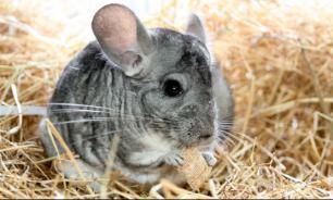 Как шиншиллы стали домашними животными?