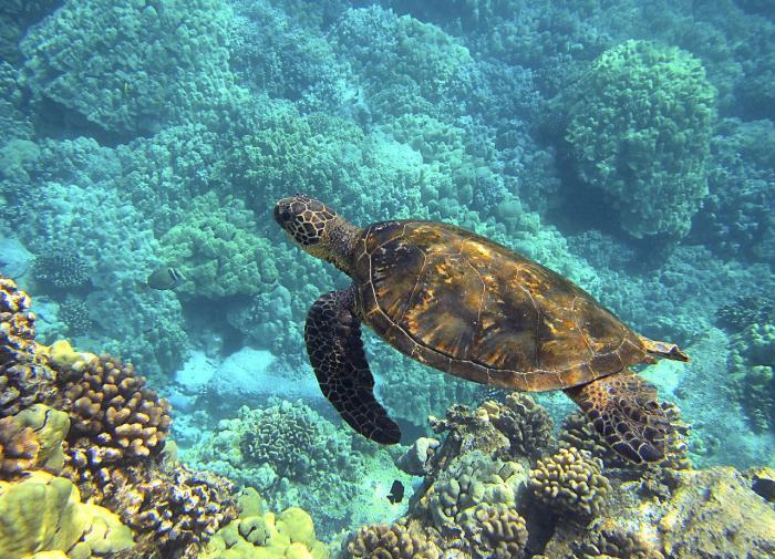 Раскрыт секрет черепах, позволяющий им переплывать Тихий океан