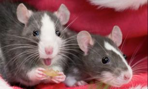 История появления декоративных крыс