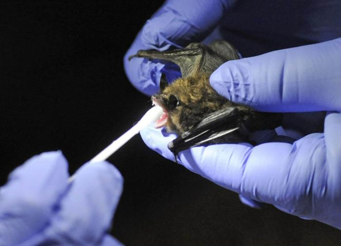 Эксперт Роспотребнадзора: в России у летучих мышей нашли коронавирусы