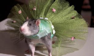 Модная одежда для домашних крыс от Ады Нивз