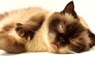 Биологи раскрыли причину появления аллергии на кошек