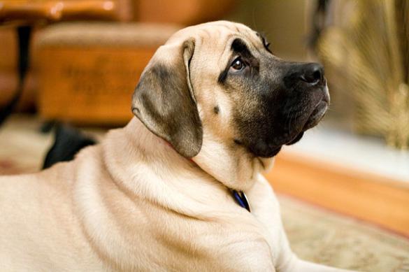 Как кормить крупную собаку